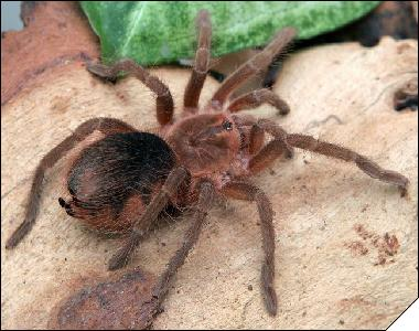 Spiders to breed at home