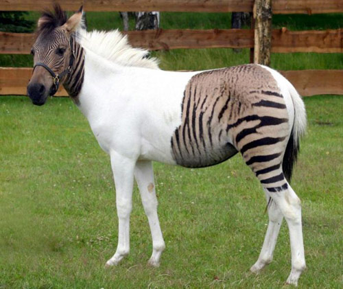 Zorse – Zebra and Horse Cross Breed | Paradoxoff Planet