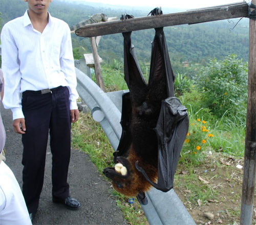 Pemba flying fox bat