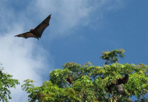 Pemba flying fox