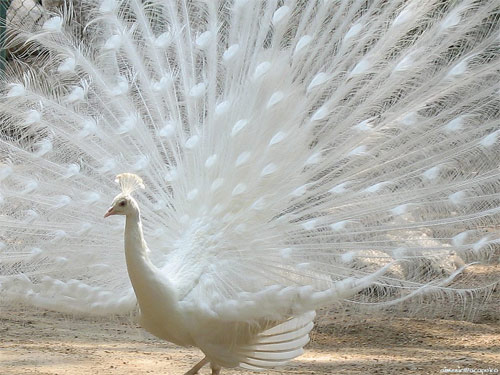 Another albino peacock