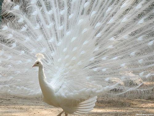 Another albino peacock