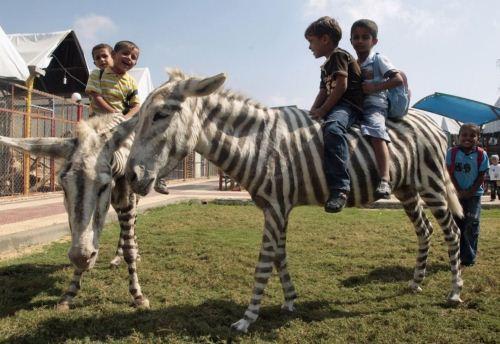 Gaza Zoo Zebras