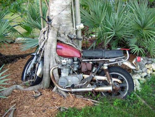 Bike grown into the tree in Brasil
