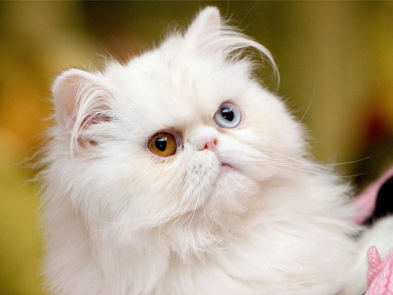 albino cat with bicolored eyes