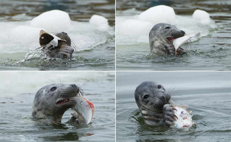 Seal eating a flounder