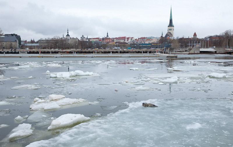 Seal in the Tallinn Bay