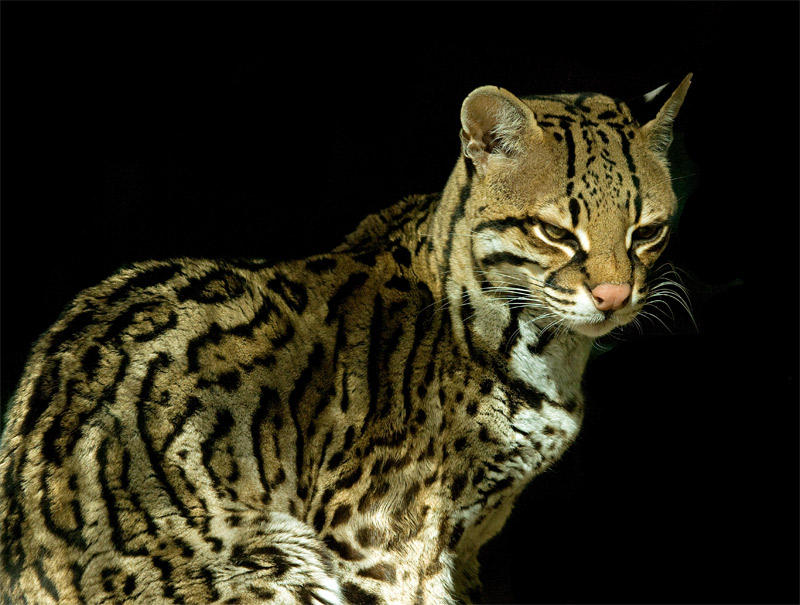 awesome ocelot