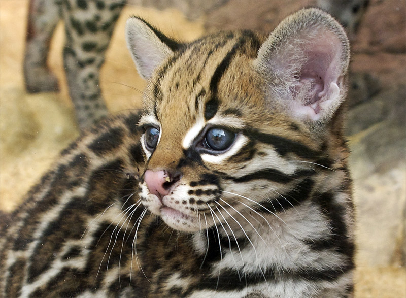 http://paradoxoff.com/files/2011/06/small-ocelot.jpg