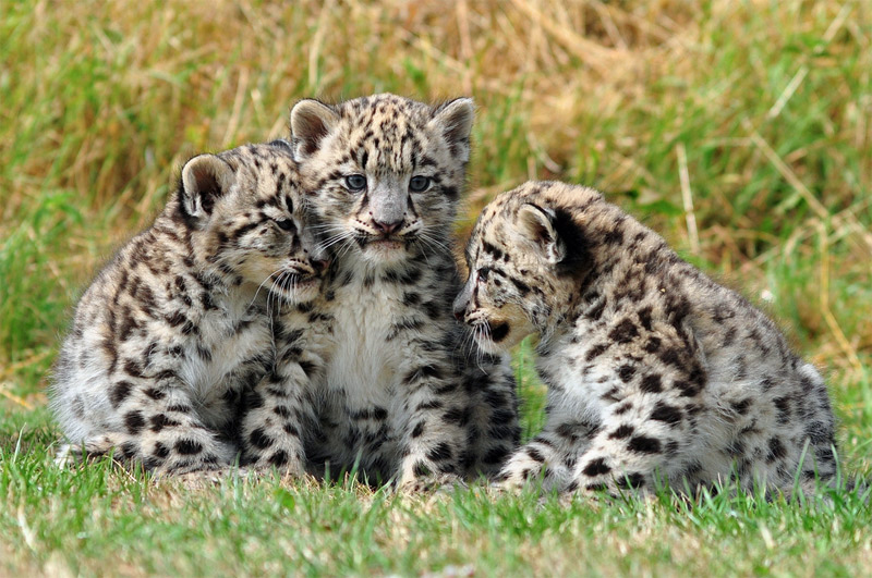 9. Two month old snow leopard cubs at the Cat Survival Trust in Welwyn, Hertfordshire, UK