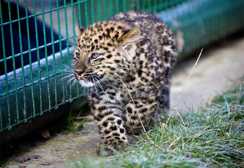 3. Baby leopard. Photo by Nick Jewell