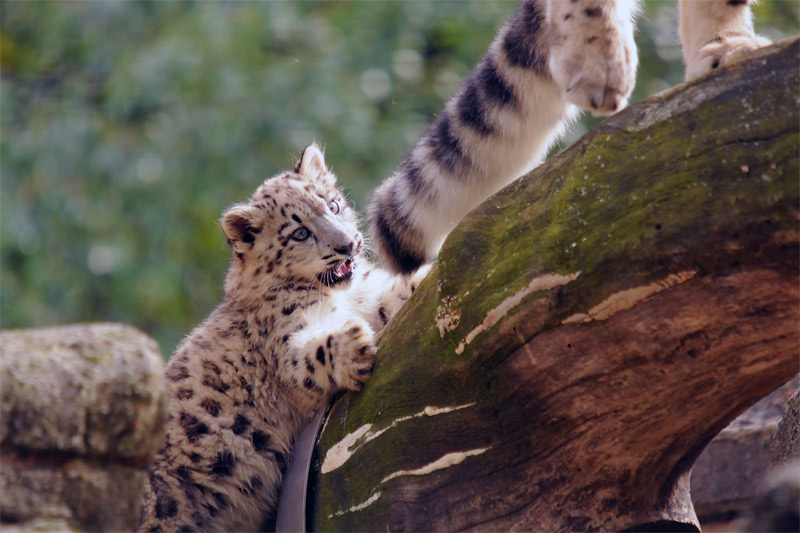 6. Baby snow leopard playing with its mothers tail. Photo by Joachim S. Müller