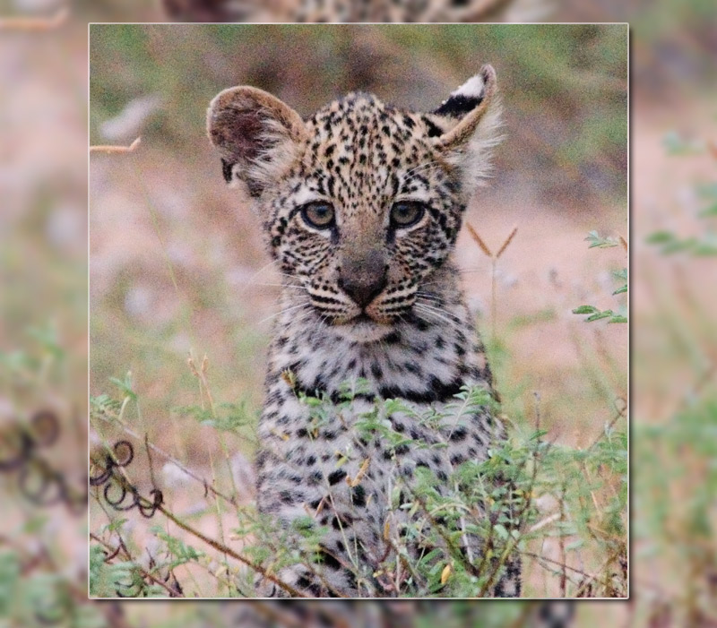 10. Leopard cub in its natural habitat. Photo by Chris Eason