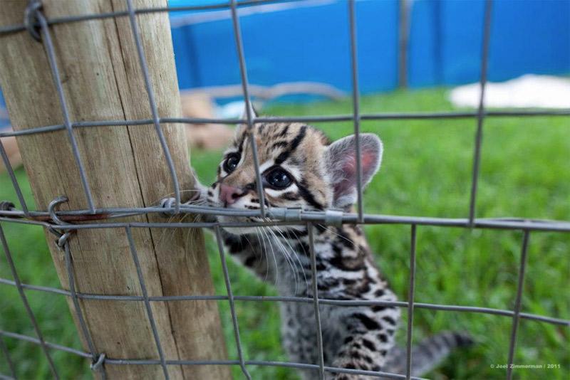 1. Leopard cub. Photo by Joel Zimmerman