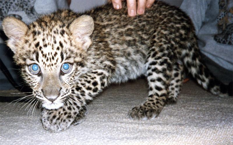4. Leopard cub. Photo by Steve Jurvetson
