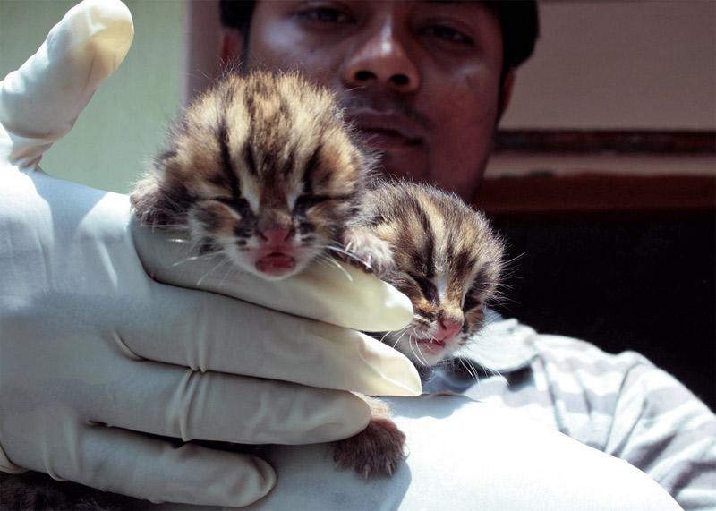 15. Newborn leopards. Photo by Diganta Talukdar