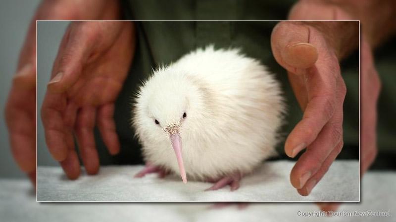 White kiwi bird hatched in New Zealand Wildlife Center. Photo by Tourism New Zealand