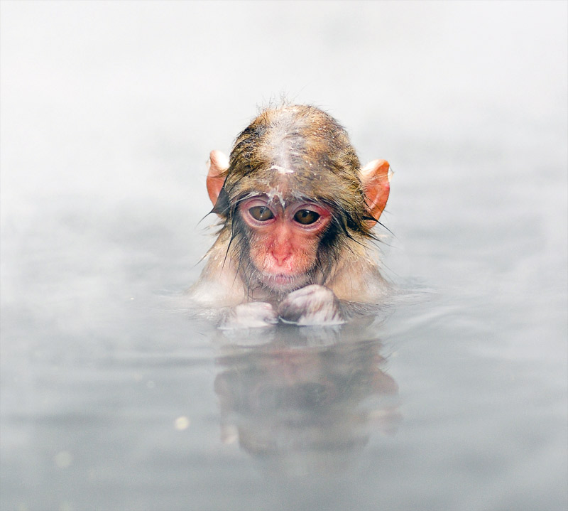2. Baby macaque in the hot spring. Photo by Mash Hatae