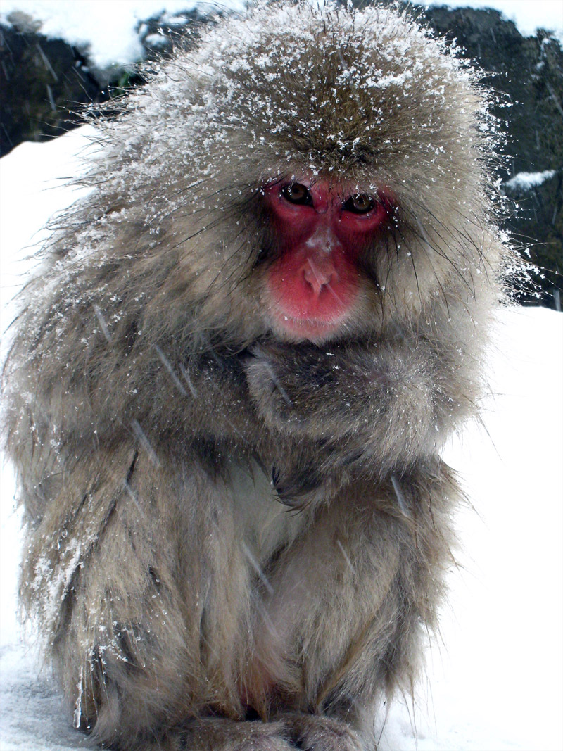 6. Baby Japanese snow monkey freezing in the cold weather. Photo by Wajimacallit