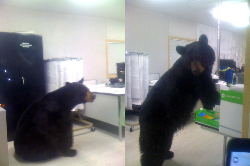 Black bear has looked himself in the office