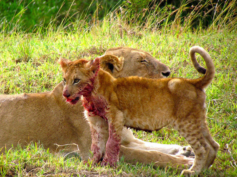 1. Blood stained lion cub