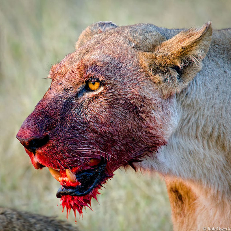 3. Blood stained lioness. Photo by Rob Dweck