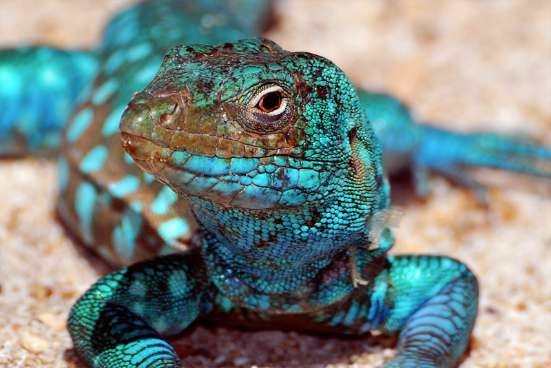 4. Blue gecko