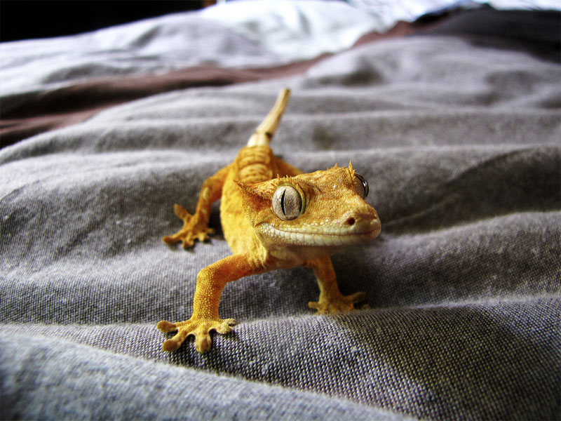 1. Cute crested gecko. Photo by Zaahir Moolla