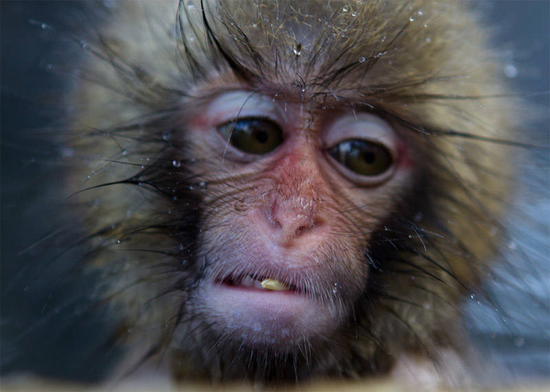 10. One distressed monkey. Photo by Lars, www.atowaku.com