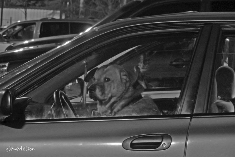 4. Dog driving. Photo by Glen Edelson