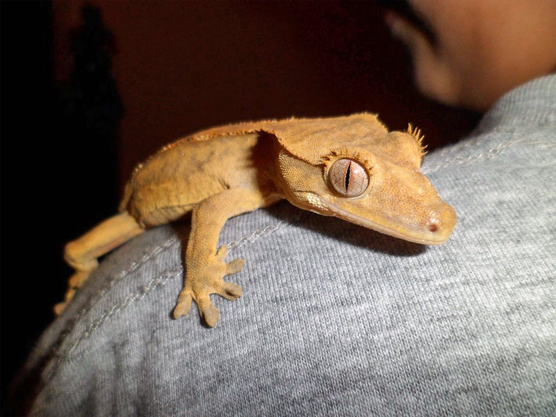 16. Cute gecko hanging on his owner's shoulder