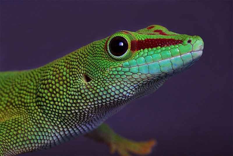 10. Giant Day gecko from Madagascar. Photo by Sorensiim