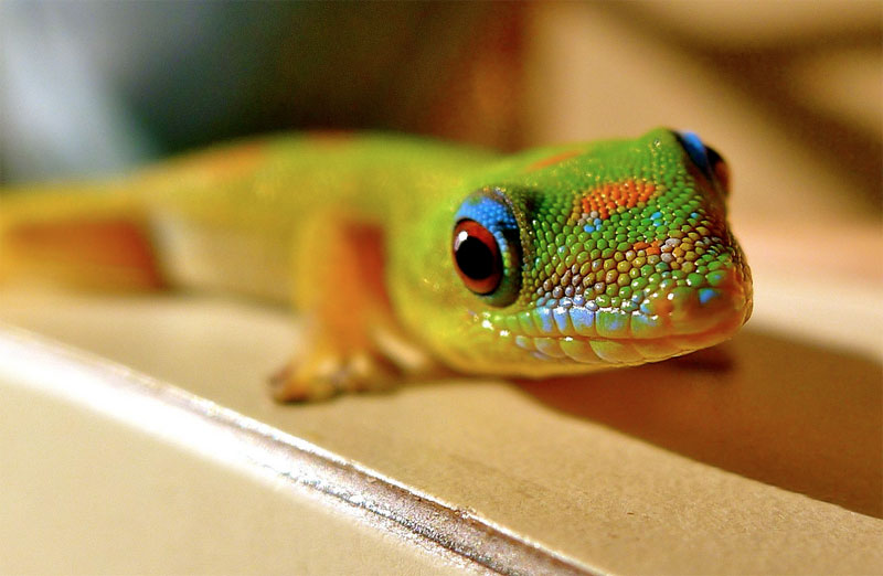 9. Gold Dust Day Gecko from Hawaii. Photo by www.lovebigisland.com