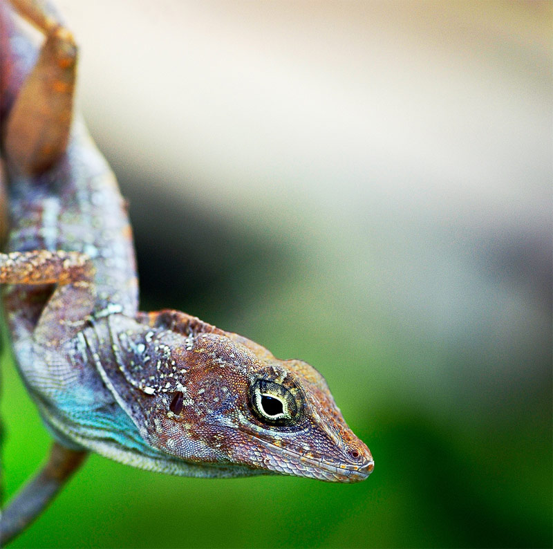 11. Another funny factoid about the geckos: The most popular name among the pet geckos is Gordon. Guess why?