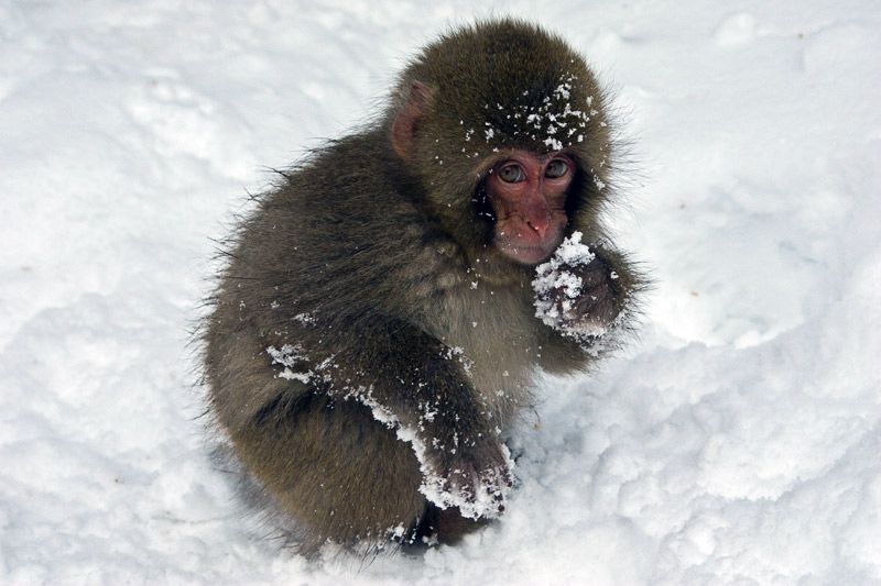 1. Japanese macaque in the snow. Photo by Lydia T.