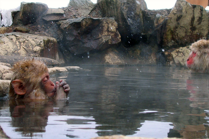 9. Japanese snow monkey is warming its hands. Photo by Matt Webster