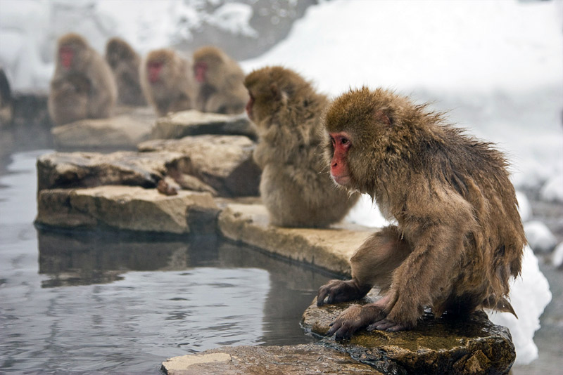 3. Japanese snow monkeys are sitting by the pool. Photo by Lydia T.