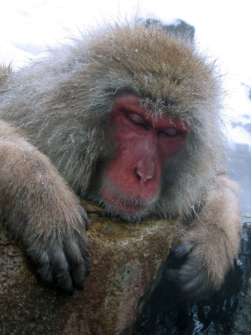 8. Japanese snow monkey is sleeping by the hot spring. Photo by Matt Webster