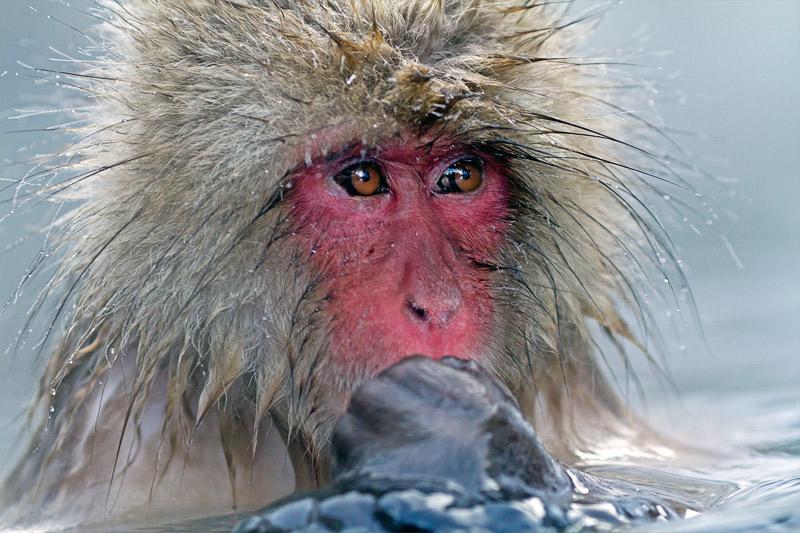 15. Japanese snow monkey. Photo by Porter Yates