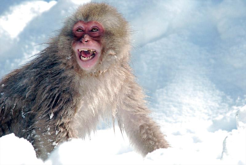 14. Joyful macaque in the snow. Photo by Jean-François Chénier