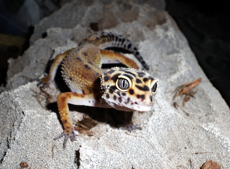 19. Pet Leopard gecko named Spoon