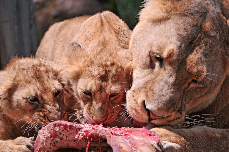 2. Two lion cubs and the mature lion are eating the same piece of meat. Photo by Tambako the Jaguar