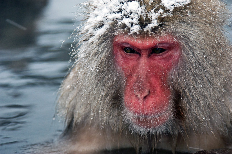 5. One old macaque with its head covered in snow. Photo by Lydia T.