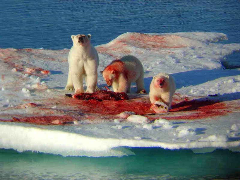 5. The female polar bear with two of her cubs are eating the seal