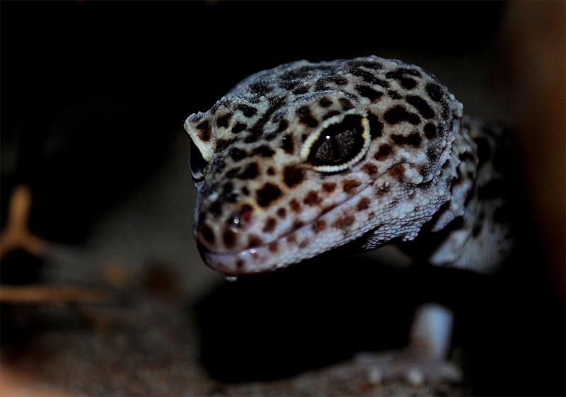 20. Sinister Leopard gecko