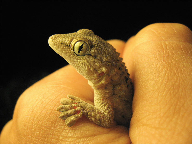 6. Small wild gecko. Photo by Steve Jurvetson
