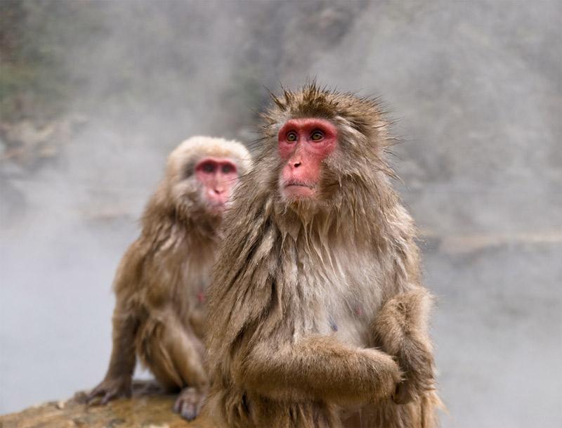 11. Snow monkeys from the Jigokudani Monkey Park. Photo by Christopher Liang