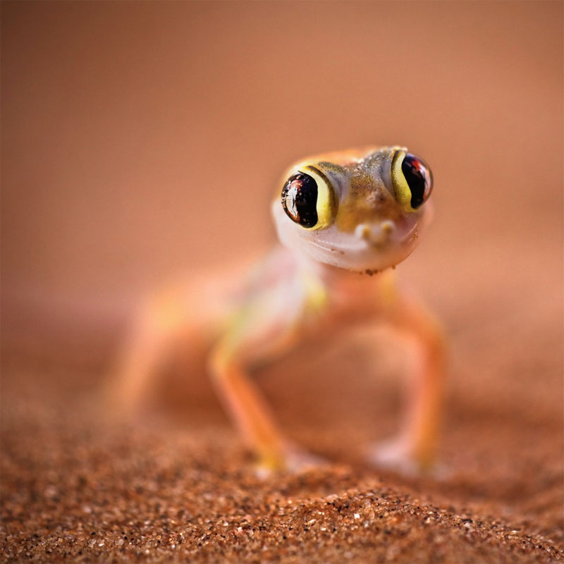 7. Cute Palmatogecko named Lizzy. Photo by Aftab Uzzaman