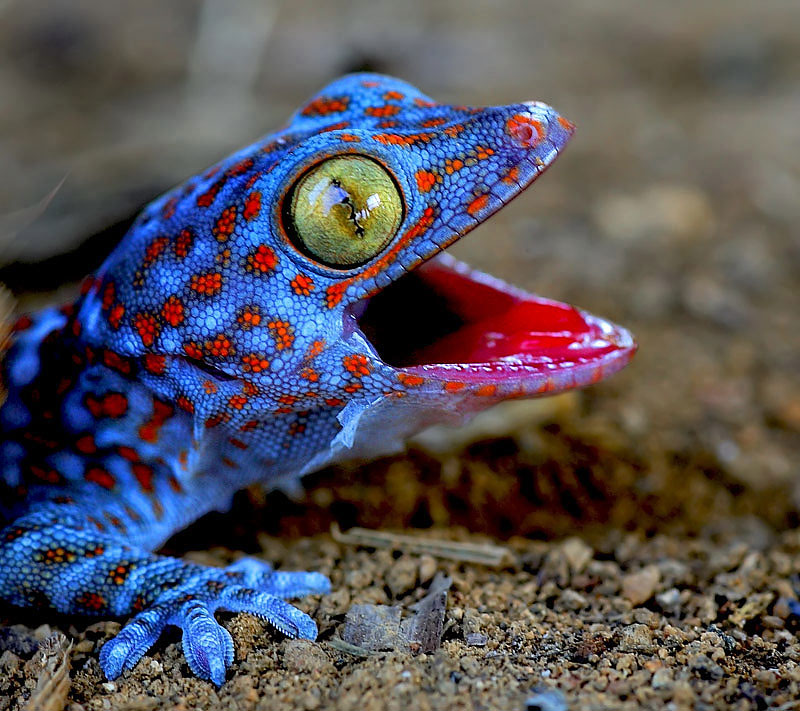 18. Psychedelic looking blue gecko