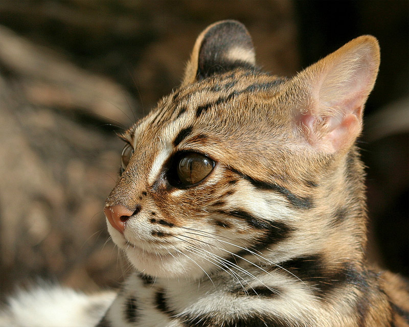 4. Asian Leopard cat in the Zoo